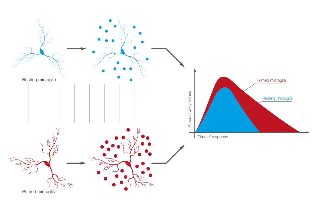 Figura 1 - Nell'invecchiamento il fenotipo della microglia è prevalentemente di tipo primed. Questo fenotipo risponde alle stimolazioni in modo più intenso, cioè producendo quantità superiori di mediatori pro-infiammatori e per periodi estesi. La microglia primed causa, per questo, neuroinfiammazione persistente, capace di danneggiare l'integrità del tessuto e la funzionalità dei neuroni.